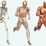 human-skeletal-system-free-picture
